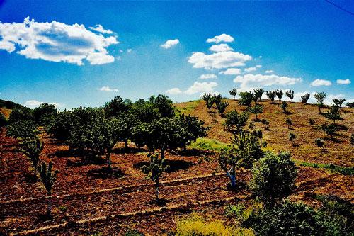 an vielen Stellen waren jetzt neu gepflanzte Oliven-Haine zu sehen