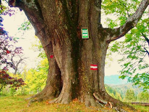 oben angekommen begrüßt uns ein grünes Natur-Denkmal