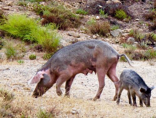 die freilaufende Mutter-Sau mit ihrem Jungen