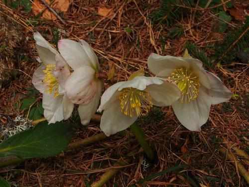 Schneerosen blühen nur an wenigen Stellen der Alpen so intensiv