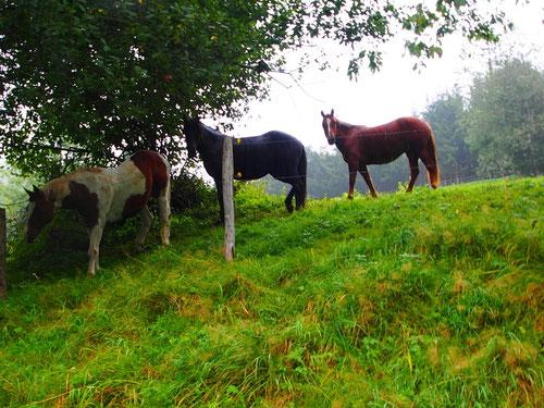 kräftige und schöne Pferde standen auf den steilen Weiden