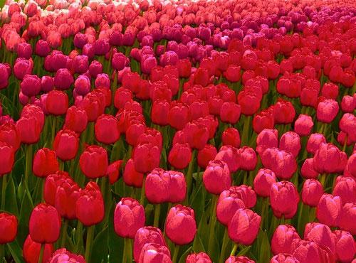 Sieben Millionen Blumen-Zwiebeln blüher hier auf einmal
