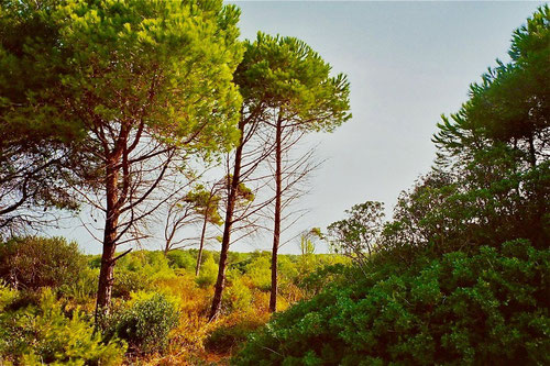 hinter dem Strand schattige Pinienwälder