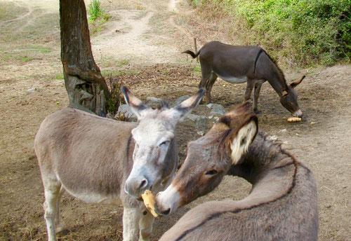 heute dienen Esel nur noch als Lasttiere bei langen Wanderungen