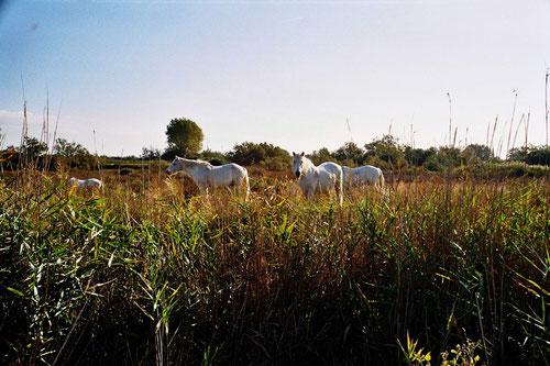 die weissen Wild-Pferde der Camarque
