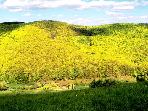 Blick auf die gerade grün austreibenden Buchen- und Erlen-Wälder