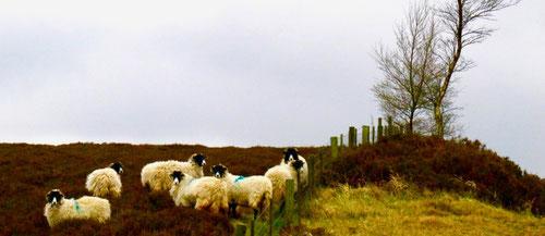 genügsame Heidschnucken-Schafe quälten sich durch das rostrote Heidekraut