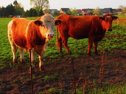 für die Kühe waren wir etwas ungewohnt