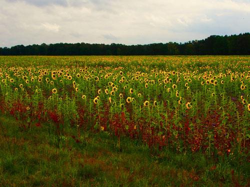 die Sonnenblumen waren noch nicht abgeerntet