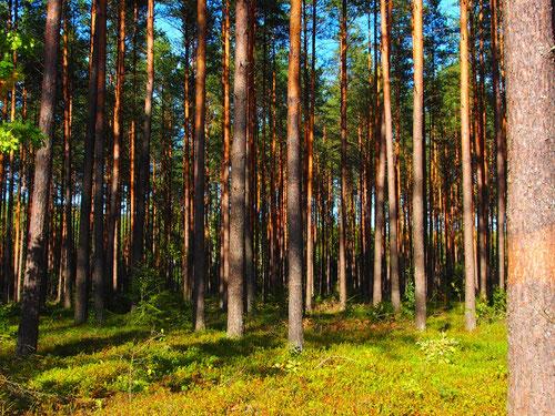 undurchdringliche Wälder in den sich die Schwammerl prächtig gedeihen