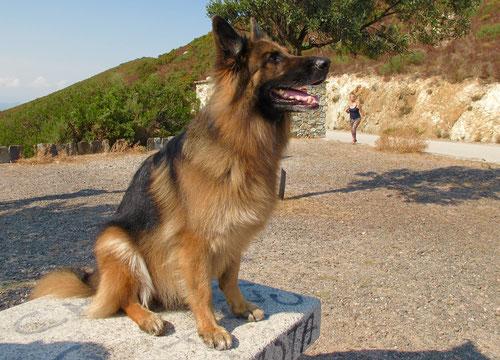 ein traumhaft schöner Schäferhund mit besten Gefolgsinn