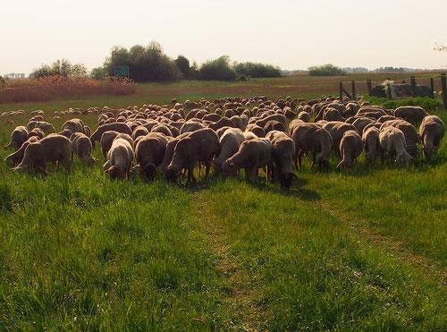 kontrolliert vom Hirtenhund Freius ziehen die Schafe weiter
