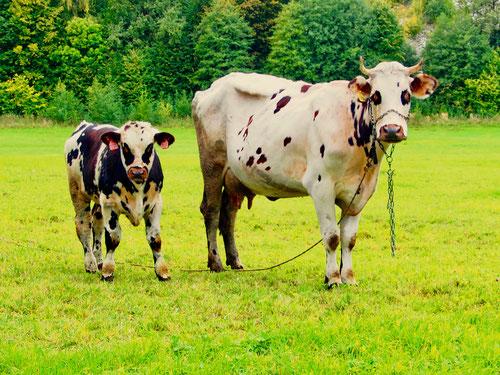 die einzige Kuh von Mira mit ihrem kleinen Stier am Bandl