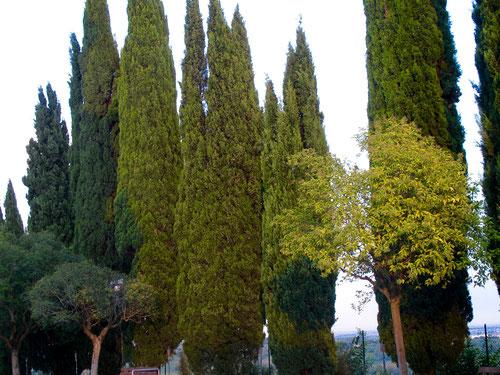 als Abschiedsbild von Italien wählten wir diese Zypressen-Baum-Studie