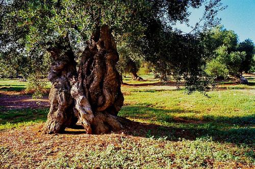 wahrhaftige Antiquitäten - dieser Baum ist mehr als 350 Jahre alt