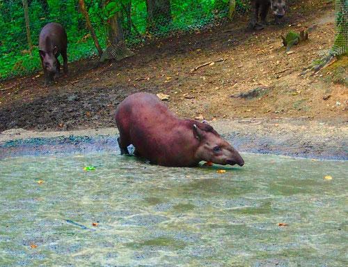 das südamerikanische Tapir liess sich beim Baden beobachten