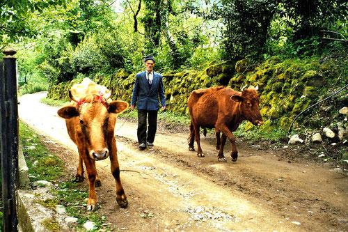 ein Mann kam mit zwei Kühen die Bergstrasse herunter