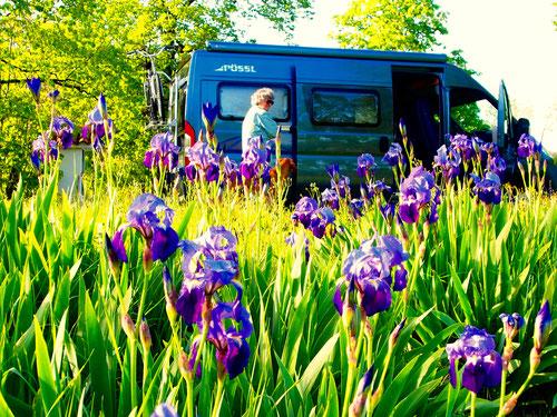 am Rande einer üppig blühenden Lilien-Wiese