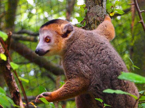 die Lemuren sind besonders lustige Gesellen