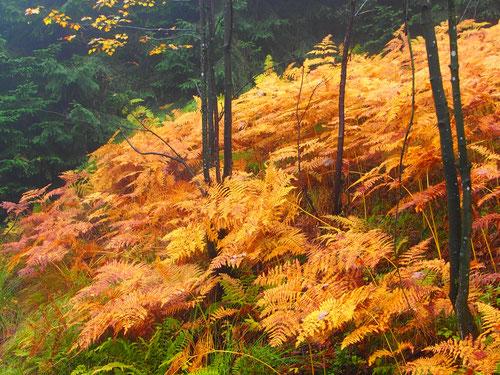 im Naturpark Stolowych sonnten sich die goldenen Farne