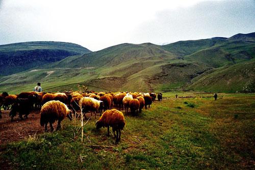 für mehrere Monate streiften die Schafherden nun durch das unendliche Gebiet des Ararats