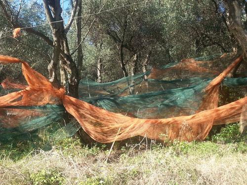 Die ligurischen Olivenbauern spannen Netze unter die Olivenbäume....