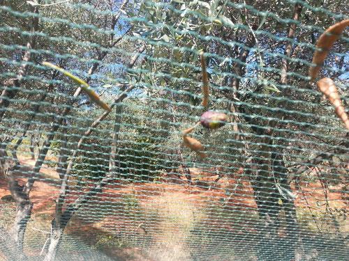 ....und warten, bis die Oliven überreif von selber ins Netz fallen....