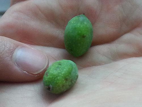 Taggiasca-Oliven sind kleiner Zeigefinger