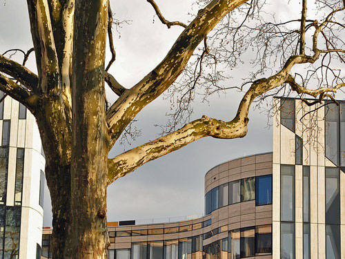 KöBogen Baum