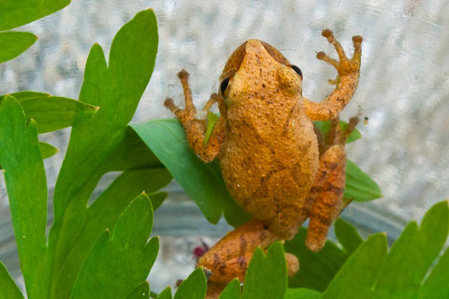 "A Northern Spring Peeper (Pseudacris crucifer) commonly called a ""Pinkletink"" in Martha's Vineyard."