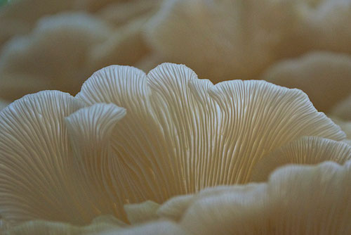A closeup of the gills of an Oyster mushroom (Pleurotus ostreatus)