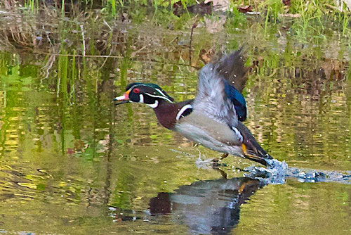 A male Wood Duck taking off from the swimming pond at Distant Hill Gardens.