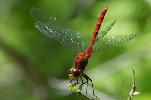 A White-faced Meadowhawk (Sympetrum obtrusum) dragonfly, in the bog at Distant Hill.
