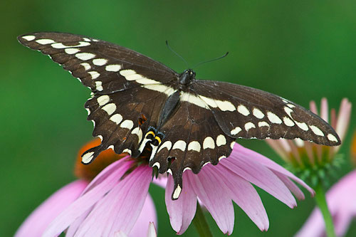 Giant Swallowtail Butterflies (Papilio cresphontes) are the largest butterflies in Canada and the United States.