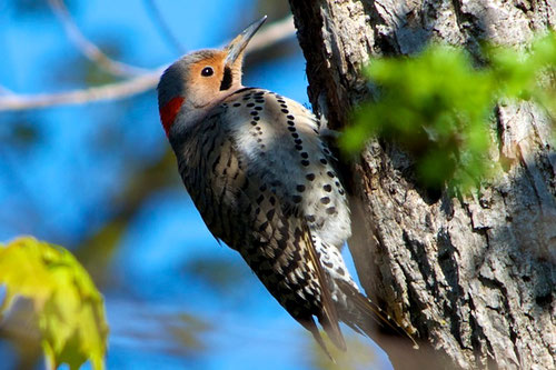 An adult male Yellow-Shafted Flicker at Distant Hill Gardens.
