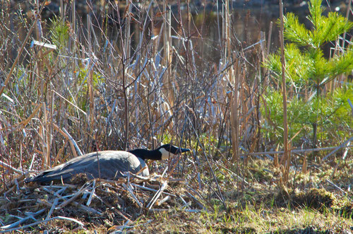 'Mother Goose' is back, nesting at Distant Hill Gardens.
