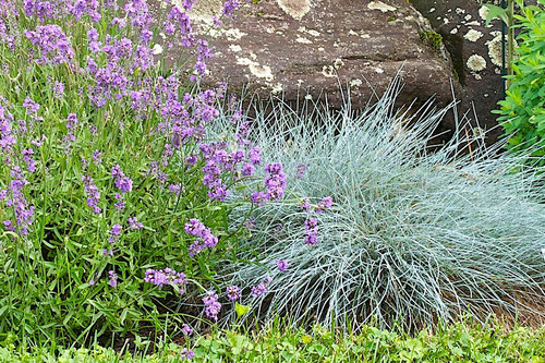 Festuca glauca 'Elijah Blue' and English Lavender.