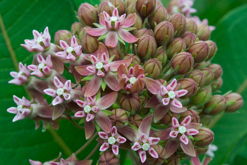 A close-up of a Common Milkweed flower (Asclepias syriaca), just beginning to bloom.