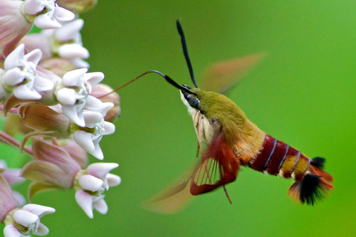 A Hummingbird Clearwing Moth (Hemaris thysbe) feeding on the flower of a Common Milkweed at Distant Hill Gardens in Walpole, New Hampshire.