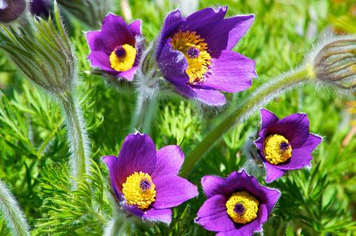 Pulsatilla vulgaris syn. Anemone pulsatilla, blooming at Distant Hill Gardens.