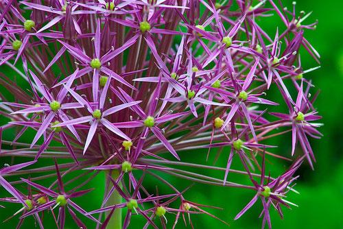 Stars of Persia (Allium cristophii) syn. A. albopilosum