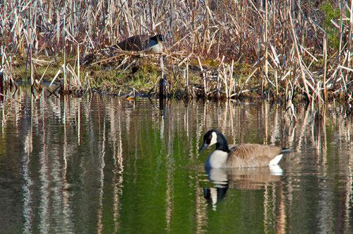 The male Canada Goose standing guard over the nest.