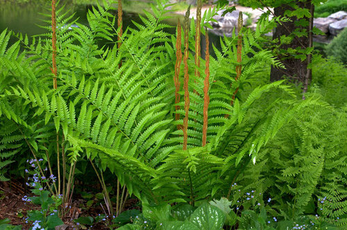 A Cinnamon fern - (Osmunda cinnamomea), transplanted from the woods into the garden at Distant Hill Gardens.