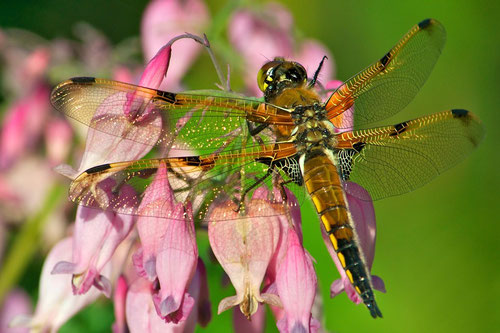 A Four-Spotted Skimmer  resting on a dwarf bleeding heart (Dicentra x 'Luxuriant').