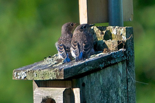 Two recently fledged bluebirds, on the roof of their birdhouse at Distant Hill Gardens.