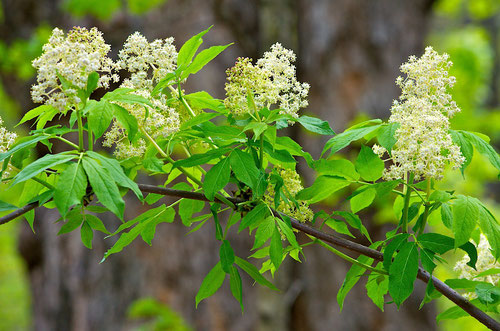 A Red-berried Elder (Sambucus pubens) blooming in the woods at Distant Hill Gardens in Walpole, New Hampshire.
