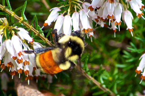 A Tricolored Bumblebee, Bombus ternarius, also known as an Orange-belted Bumblebee.