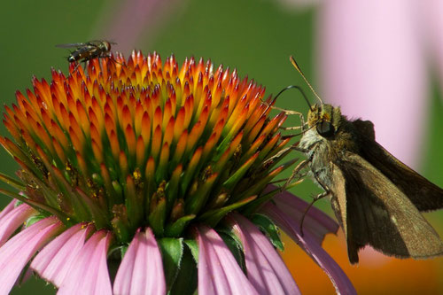 A Folded-winged Skipper and a fly on a Eastern Purple Coneflower  (Echinacea purpurea).