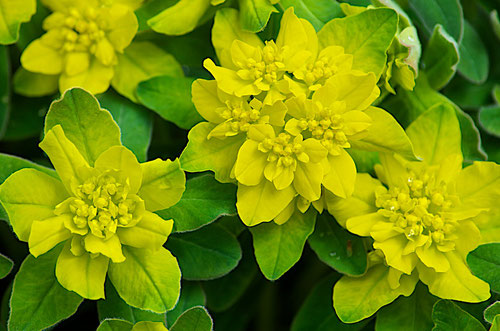The yellow of the  flowers of Euphorbia epithymoides - Cushion Spurge, looks as though it was airbrushed on the plant. A beautiful effect.