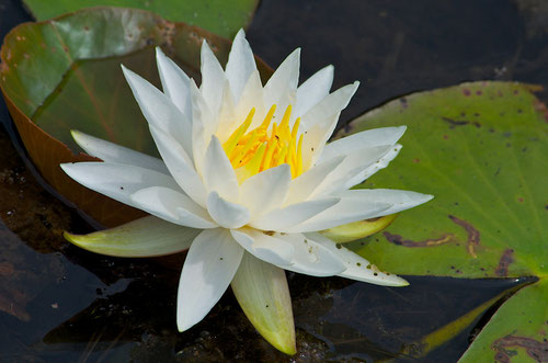 A White Water Lily flower (Nymphaea odorata), also called Fragrant Water Lily.